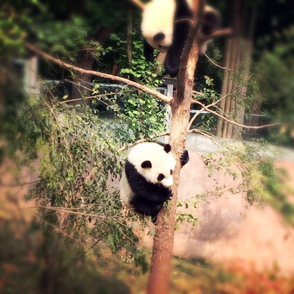 壁纸 大熊猫 动物 1200_1200