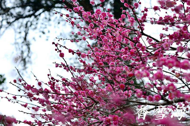 杭州植物园灵峰探梅