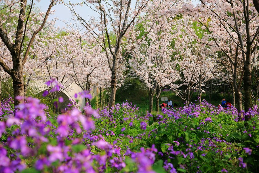 2015,顾村公园赏樱花