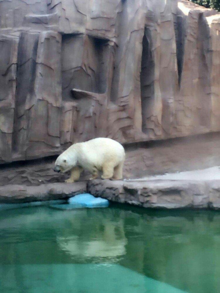 在北京10年了,头一次进入人满为患的动物园,哈哈哈,也许更多人都在批发市场,笑,票价不贵,当然不包含海洋管,下午去的时候有点晚,售票结束是五点,所以没有来得及,但是走下来还是感觉很不错的,满满的童年回忆,很多小孩子,所以尽量要小心,不要碰到他们,从熊猫管到最后的非洲动物,其实还不错,当天去得时候看到熊猫馆看到三只熊猫,一只睡了,一只饿了,还有一只在便便,接着猴子山,刚出生没多久的猴子相当顽皮,而且聪明可爱,然后的熊吧,独居动物白熊有点懒,或者是太热了,不过的确也是睡得,呃看到很多动物的睡姿?!黑熊神马的是