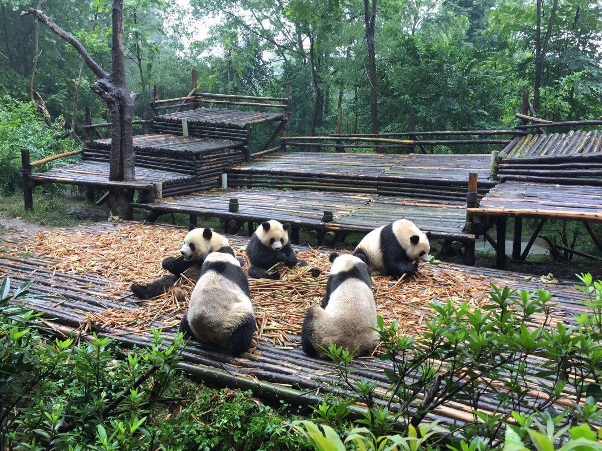 """""""大熊猫繁育研究基地""""的图片搜索结果"""