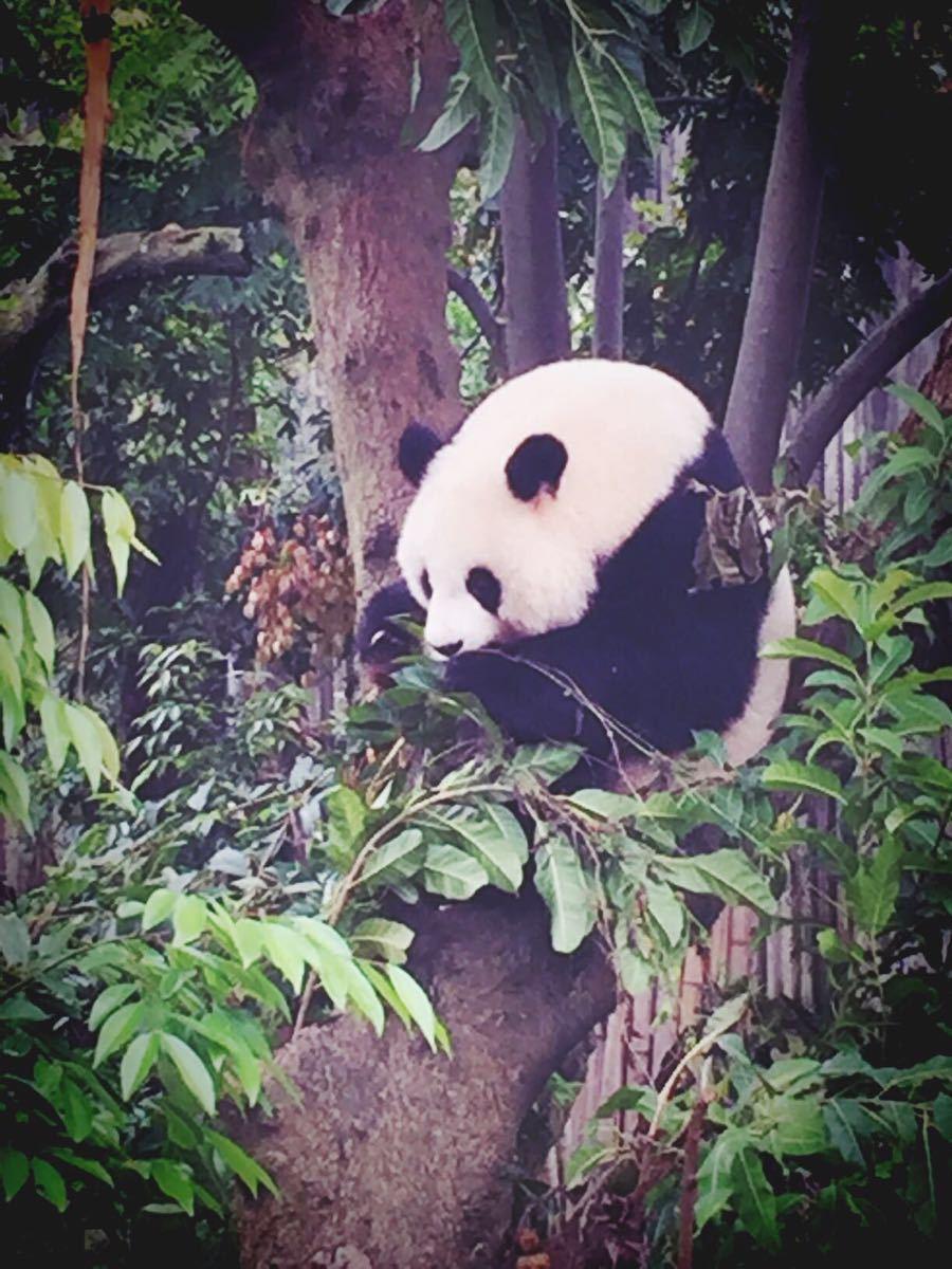 我们坐的后半夜飞机,看网评说要早点去不然大熊猫就回室内了,故早上7:30就到了。超冷,虽然看网评说很冷,但还是让我这个北方人超出了预期。实际上冬天不用这么早,天气不热熊猫不会怕热早回室内的,冬天差不多9:30到就可以了,太早也没有熊猫出来因为她们要吃早餐:),工作人员9点多才发他们出来。景区游客服务中心弄的很贴心,有免费手机充电、母婴室、婴儿推车、轮椅车、存包柜等。我们不知道拉着行李箱转了一圈,要走时想接水才发现的。小熊猫真的太可耐了毛茸茸一团,大熊猫们就是大家印象里的一直忙着吃,熊猫产房没有开放在装修,