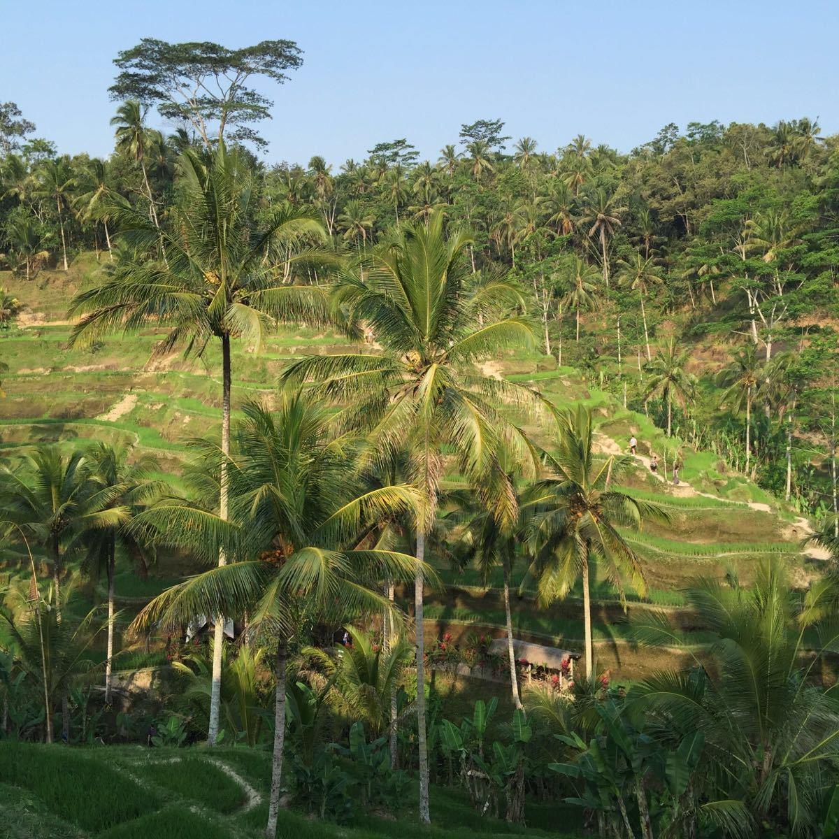 【携程攻略】巴厘岛德格拉朗梯田景点,很好看,喝着茶