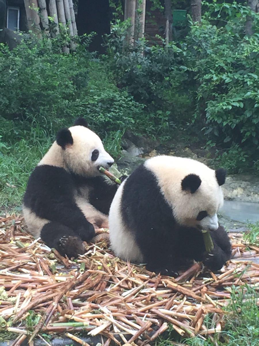 【携程攻略】四川成都大熊猫繁育基地景点,滚滚太可爱
