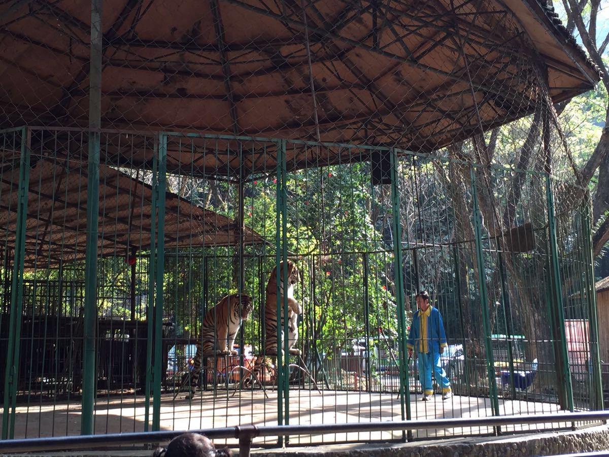 西雙版納原始森林公園出了山寨走一個棧道下樓梯,走個5分鐘就到了人工設計的九龍瀑布,下面有賣水,冰淇淋和工藝品的,順別歇歇腳等待電瓶車帶游客到下一個景點游玩。 電瓶車到了一個原始森林小路,體驗原始森林。一下車就有一大群猴子迎接我們...瞬間想起了峨眉的猴子,各種槍.