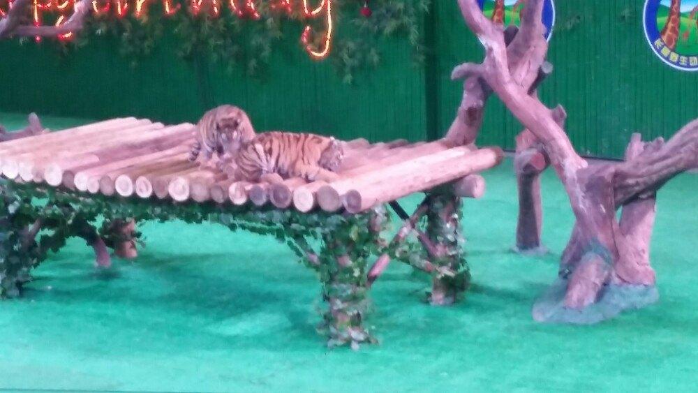 看动物对于小朋友来说,是认识世界很好的方式,所以这次我带着小朋友去广州长隆野生动物园,看看那些平时我们只能在电视里看到的动物。长隆野生动物园最出名的就是白虎,这个可是很少看到的哦!隔着巨大的玻璃,我们看到白虎表演,超级精彩。然后我们搭乘园区内的小火车,进入野生动物保护区参观。我们看到了长鼻子的大象在慢慢的行走;老虎在树荫底下乘凉睡觉;高个子长颈鹿在草地上走来走去;斑马、羚羊和长颈鹿愉快的呆在一起;我们还看到河马为了避暑直接躲到水里面去了。坐完小火车,我们走进了考拉馆,萌萌的考拉一直