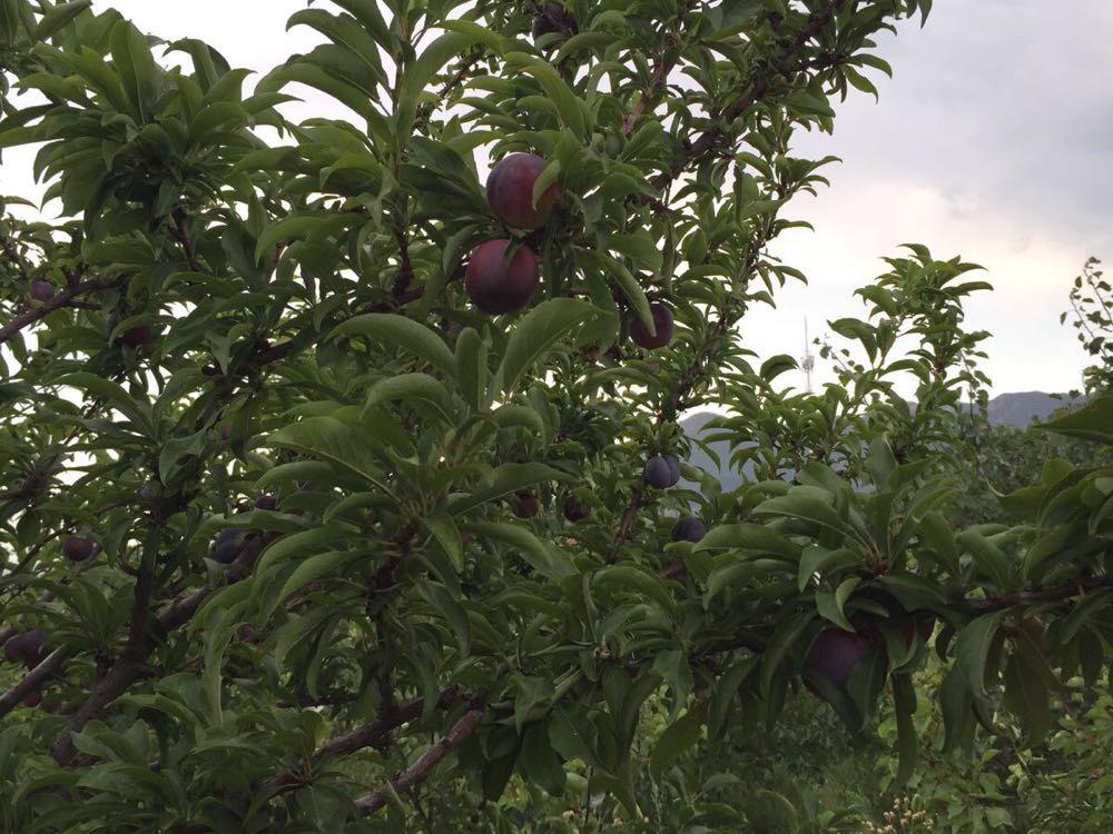内蒙古适合果树