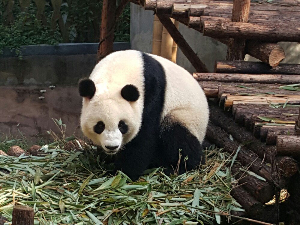 成都大熊猫繁育基地