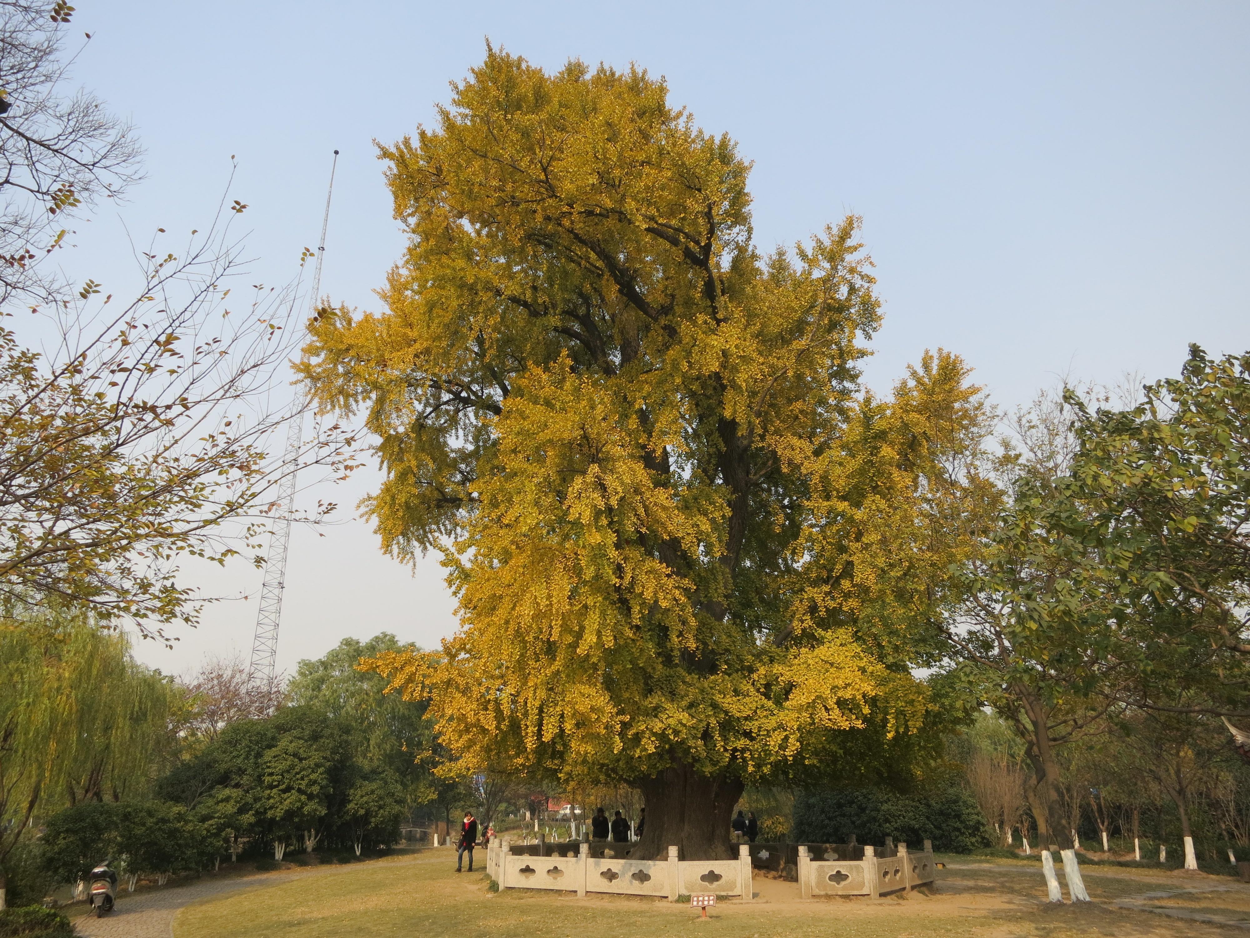 古银杏树公园