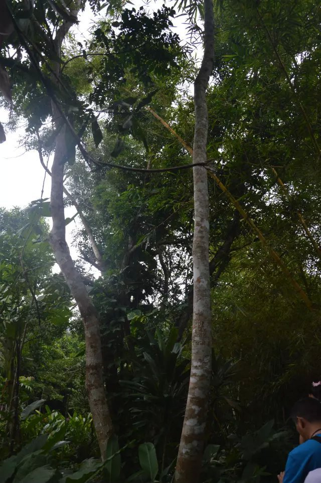 经询问和查看地图,呀诺达雨林文化旅游区离市区很远,单程约2个半小时,若坐公交车很不方便,如果玩的不顺的话,可能就赶不上回城的公交车了。因此打消自行前往,在居住的热带岛宾馆内订的当地一日游项目。一路欣赏南国风景,到达景区后,我们按照地导编号为鳄鱼组。里面人真多,都是按编号来区分的。我还被景区导游选为临时安全员,戴着红袖标照看本组游客的安全。我们组绝大部分成员都参加了拓展训练(另加收费用,160元,含午餐),我们爬上涉水,一关一关的过去,很多人都在第一关就落水湿身了,我也不例外,呵呵!真刺激,好玩。