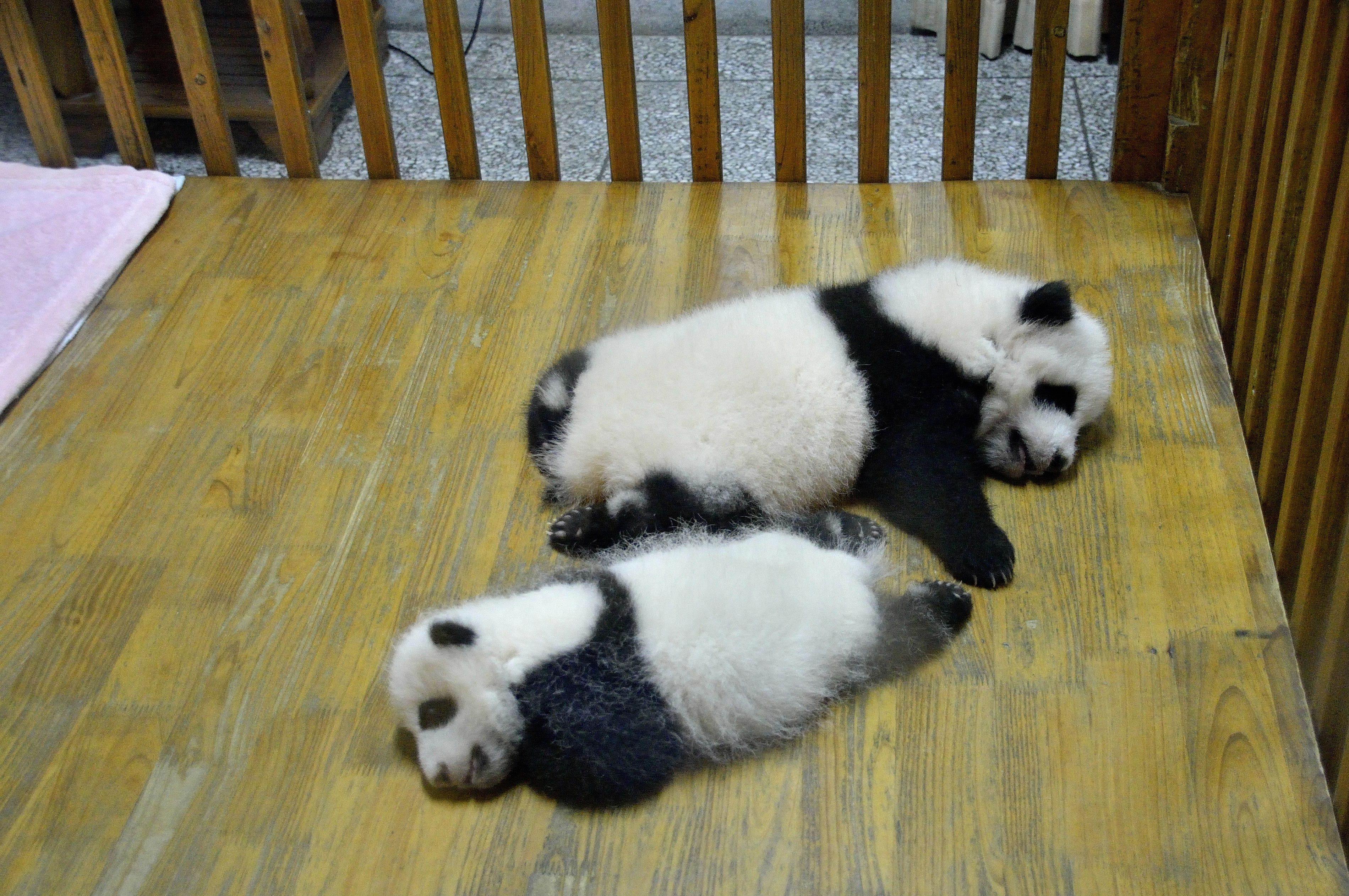【携程攻略】四川成都大熊猫繁育研究基地景点