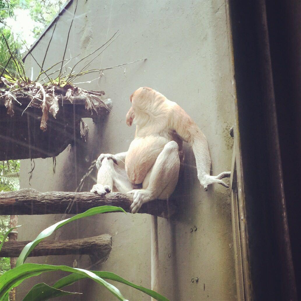 对于相当喜欢动物的付同学和Eason哥来说新加坡动物园是此行绝对不能错过的。我们是打车去的从市区到动物园花了21SGD上车的时候司机说可以让宝宝睡一觉因为挺远的我一听哇这一趟得花个好几百了后来到了一看才21SGD顿时感觉新加坡白天打车好便宜的浦东到浦西稍远一丢丢也要百来块呢香港就更不用说了从湾仔到九龙过个海十几分钟车程就要百来块。 来到新加坡动物园才知道什么叫差距人家的格局规划得多好完全就是很生态的热带雨林格局很多多动物都不是关在笼子里的。你能看到猩猩在你头顶的树枝上荡秋千环尾狐猴在你身边走过仙鹤在天空中