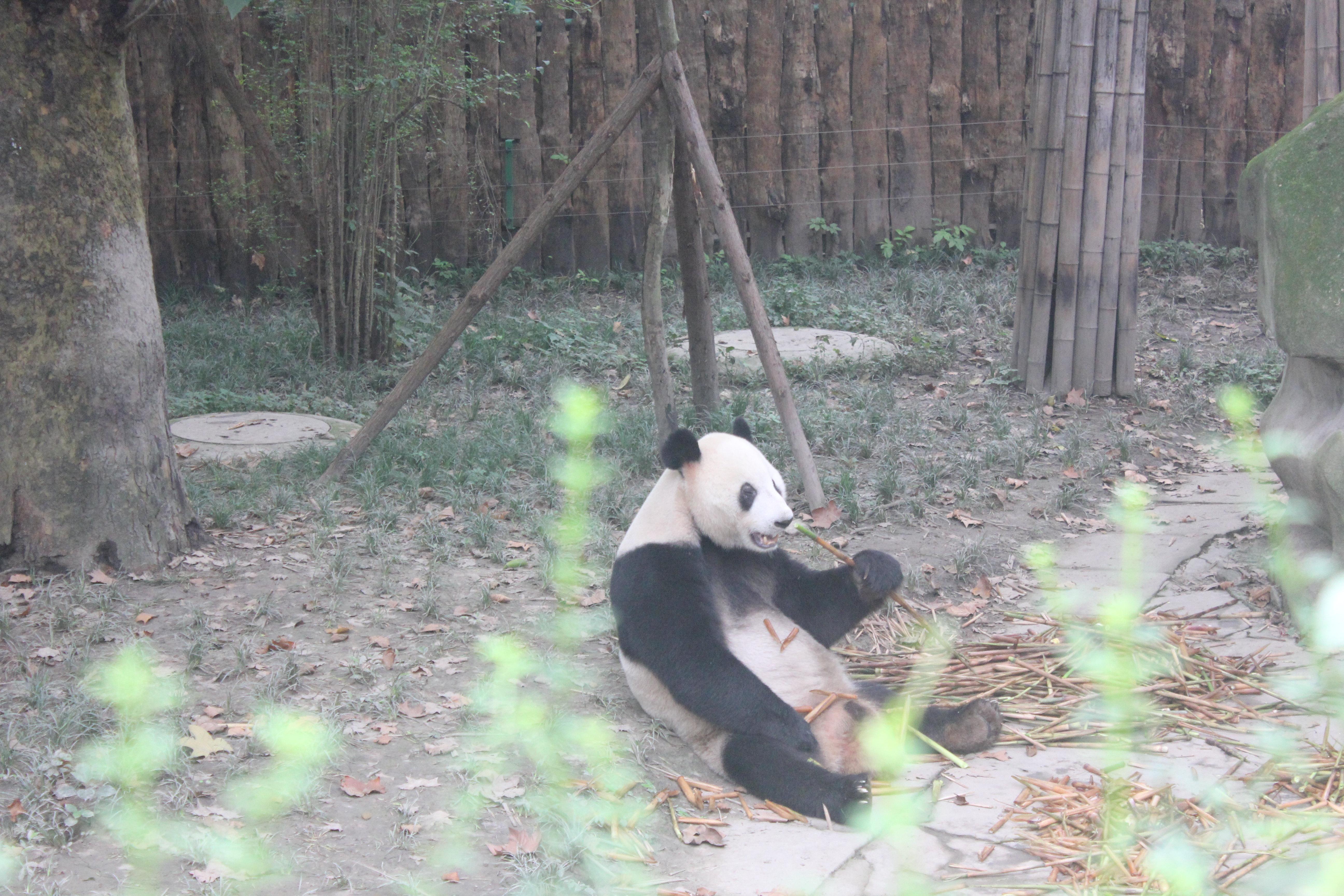 最可爱的小熊猫