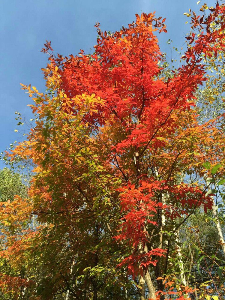 秋季五颜六色的枫叶随处可见,让森林披上了美丽的花衣服.图片