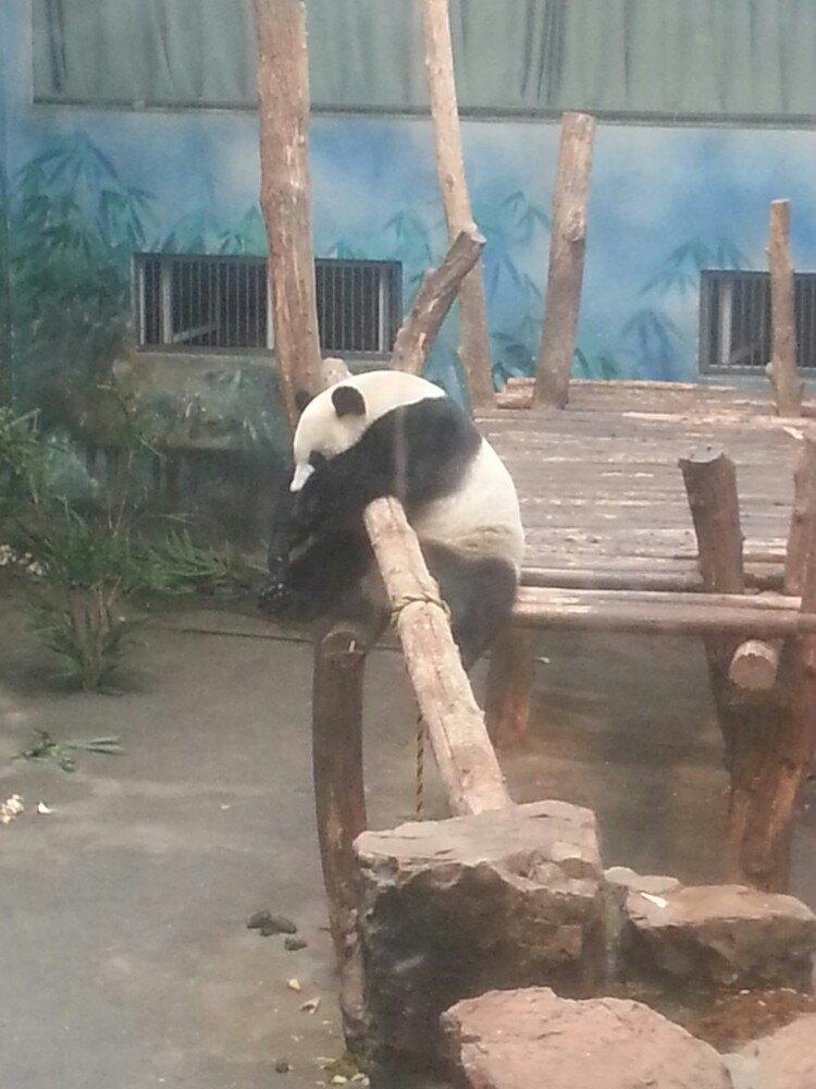 壁纸 大熊猫 动物 750_1000 竖版 竖屏 手机