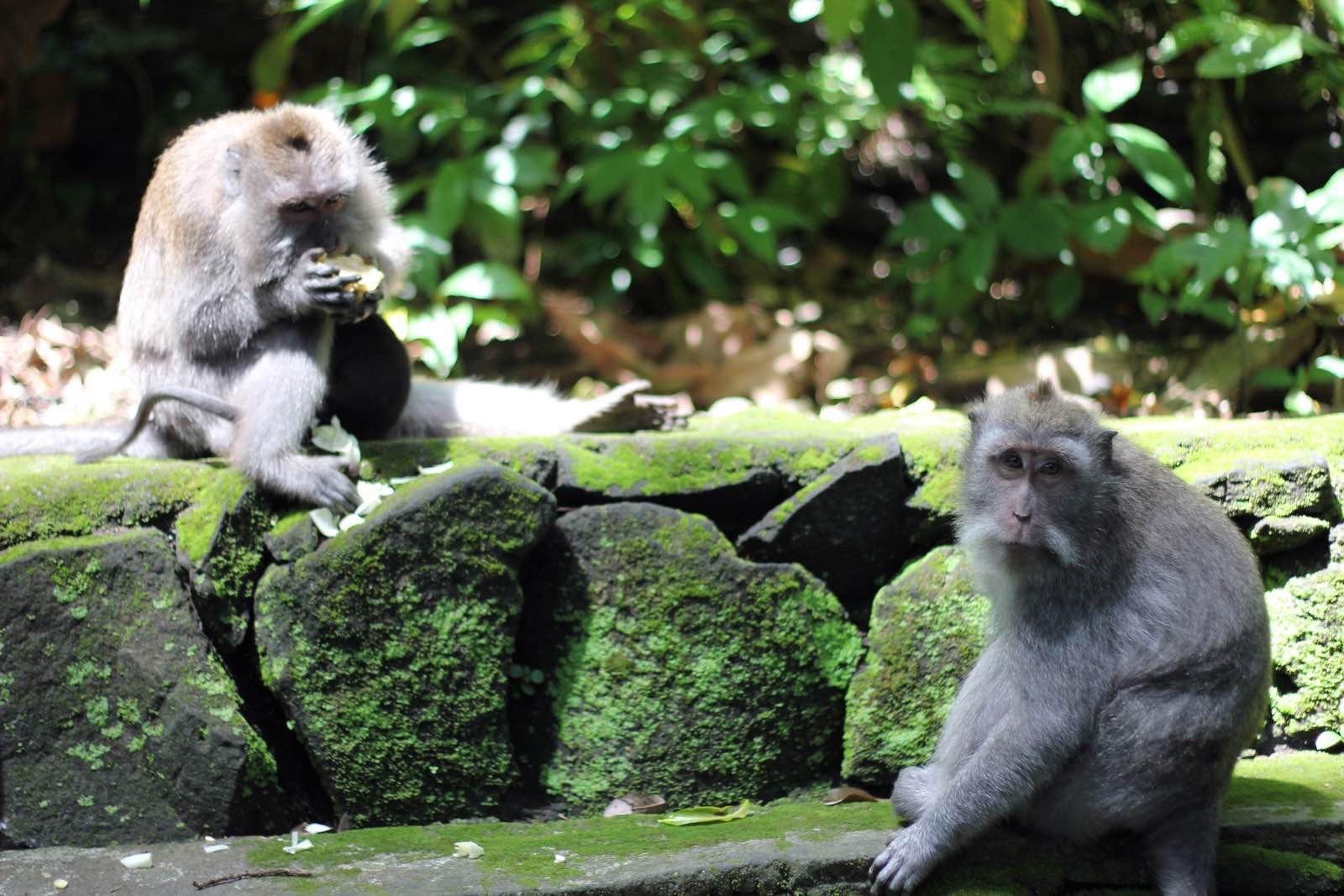 景区不大,古树很多,连玩带逛1小时足够了。我是自己到门口买的门票,3万一个人,一进门就看见卖香蕉喂猴子的小摊,因为是下午去的,猴子们已经被游客喂的饱饱的了,完全不抢东西,一个个都在那睡懒觉,偶尔会看见一两只躺地上玩石头,只要你不走过去和它自拍留影,它就不会咬你。景区中间有个寺庙,会有祭拜仪式,但当地人进入寺庙以后会把大门锁起来,游客禁止参观。景区外面是通往乌布皇宫的路,街边小店很多,都是当地特色产品,可以随意逛逛,感觉价钱比乌布市场开价低一些。