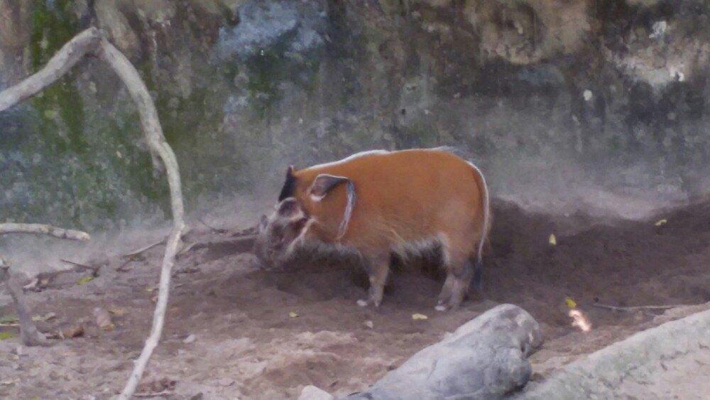 好吧,我覺得新加坡日間動物園是目前為止最好玩的動物園,很多動物之前都沒有見過,而且很多動物都是散放的,沒有厚厚的玻璃阻擋,雖然天氣很熱,但是綠樹成蔭,一點都不覺得曬,里面也有各種美食。價格也不算貴,就是里面騎小馬那些另外付錢的就不推薦,價格不便宜,騎馬的話就逛一圈,一圈就兩分鐘,如果時間空閒的話可以慢慢逛,很開心