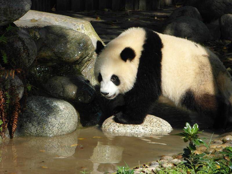 【携程攻略】四川成都大熊猫繁育基地景点