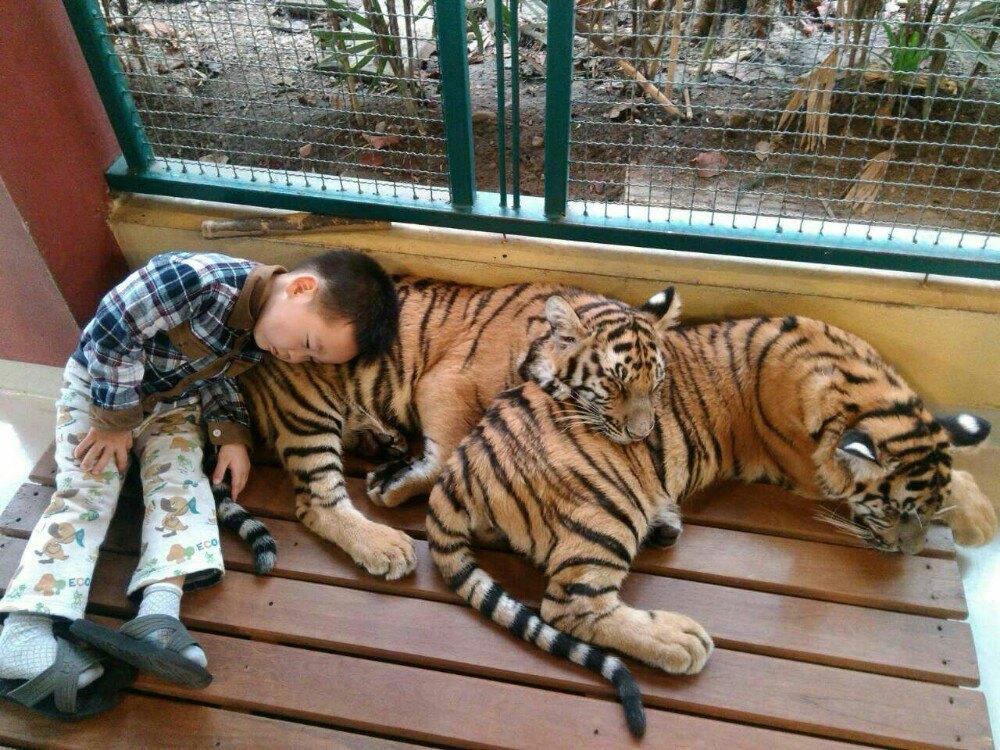 豹 豹子 壁纸 动物 虎 老虎 桌面 1000_750