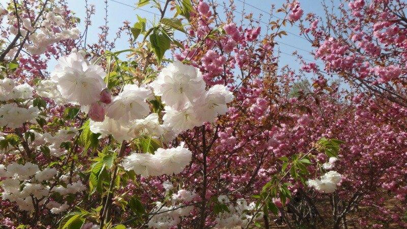 【携程攻略】聊城姜堤乐园景点,2014年4月樱花节拍摄