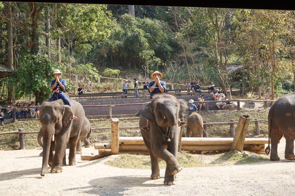 清迈有多个大象训练营,其中美莎大象营不仅是最大的,设施也相对齐全,知名度很高,游客众多。园内饲养了近百头大象,参加表演的大象都是自幼年时期起就送来此地接受训练的。在美莎大象营不仅可以看大象表演杂技、作画,还能坐在大象背上沿山谷走一回,穿梭在原始森林里。 丰富精彩的大象表演 到了大象营,四处都能闻到大象的味道。大象们的演出内容包括踢球、作画、抬木桩等,每一项都会让游客充满欢笑,还有与游客互动的大象按摩,十分刺激。 在各种表演中,大象用鼻子作画可谓是最精彩的部分,如果不是亲眼所见,你可能无法相信眼前栩栩如生的