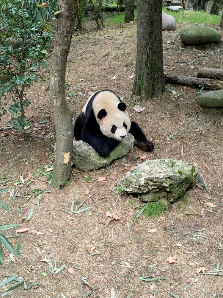 成都有好几个熊猫保护基地,听那里的工作人员说,熊猫一天只吃二两竹子
