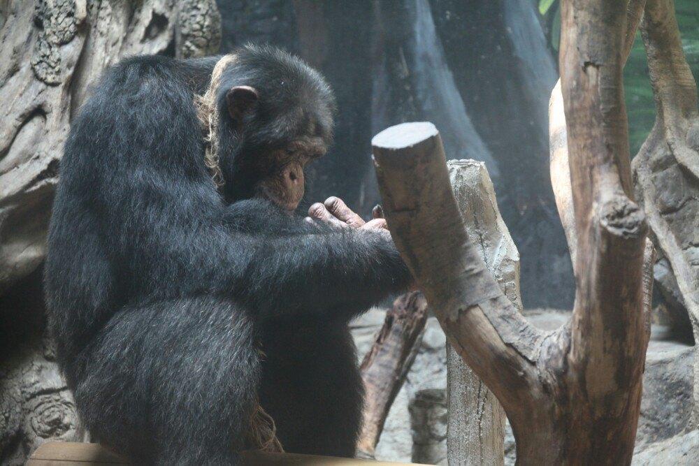 """孩子喜欢动物园,曾去过日本的,澳大利亚的,台湾的,新加坡的,泰国的,觉得长隆野生动物世界整体比较大气,充满动力,会不断提升。其中喂养初生的小鹦鹉、小老虎十分特别,孩子把那儿叫做learning center"""",虽然他不大会讲华文,但他告诉我要再回来这儿里。我们也喂了大象、长颈鹿、天鹅,有趣!但长颈鹿吃的树枝有点儿贵,¥30一支,喂了十多支,孩子还意犹未尽。泰国的长颈鹿吃得比较平实,一桶香蕉吃得劲儿劲儿的,¥10多,感觉国内的生活水平忒高了。不管怎样,把钱花在国内,咱愿意。祝长隆"""