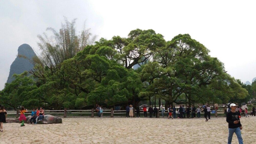 大榕树,是十里画廊观光路上的一处景点,里面有一棵距今1500历史的大榕树。古榕高17米,树冠径7米多,覆盖地面一百多平方米。近看,它枝繁叶茂,盘根错节,榕须落地生根,独树成林;远看,就像一把绿色的巨伞或像一个巨大的蘑菇。大榕树旁边是金宝河,河水很浅很清。河对面平地拔起一小石山,中间对穿一孔道,似巨型石门洞开,称穿岩,岩间一村,既穿岩村。