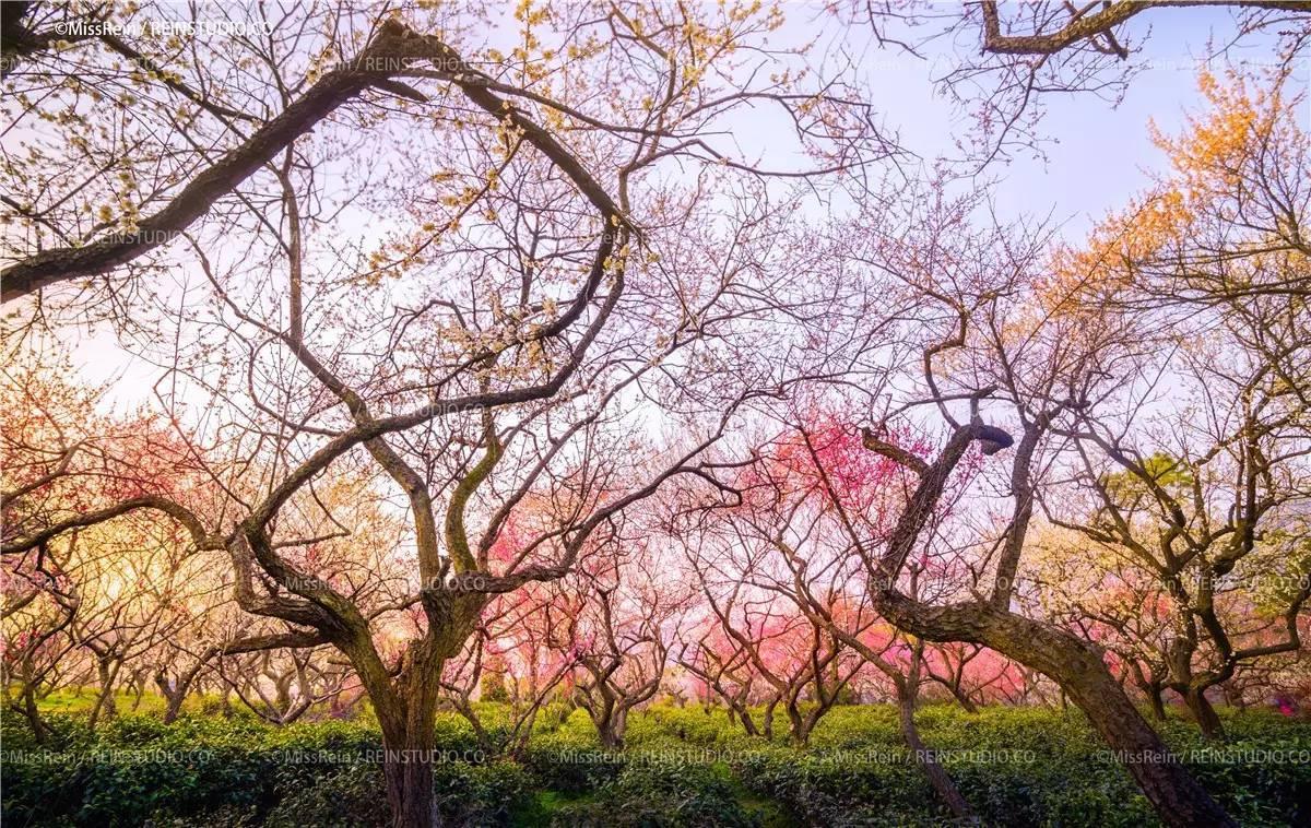 携程攻略南京梅花山景点梅花山是南京钟山风景区