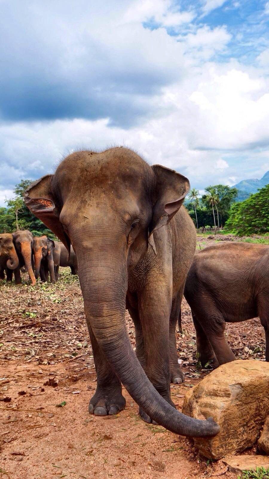 Elephant Orphanage(大象孤儿院)坐落于斯里兰卡中部Kegalle附近的小村庄Pinnawala,从科伦坡前往康提的公路途经此处。兰卡原始森林中到处可见被废弃的违禁开采玉石的简易矿井,往往有些小象掉进这些废井而坐以待毙。为收容从玉石矿井中救出和其他因种种不测与母象失散了的幼象,兰卡政府野生动物保护局于1975年开始修建了这座世界上独一无二的大象孤儿院。成立30多年来,孤儿院共收养了近百头大象,成年后的大象可以接受工作训练如帮助人们搬运木材等,这里是可以近距离欣赏和接触
