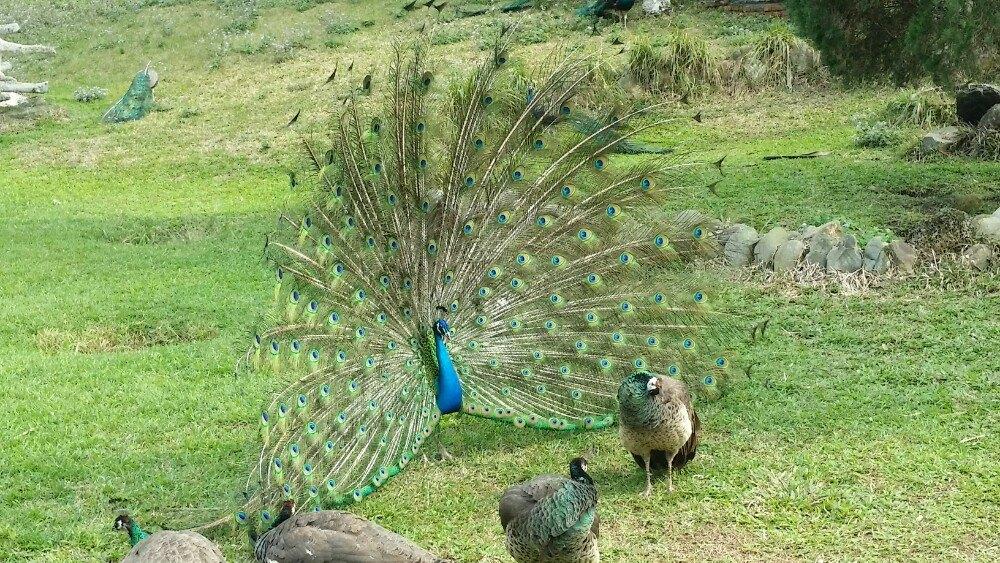 日月潭孔雀园是一处小型的鸟禽类动物园,成立於明国五十七年十月,总