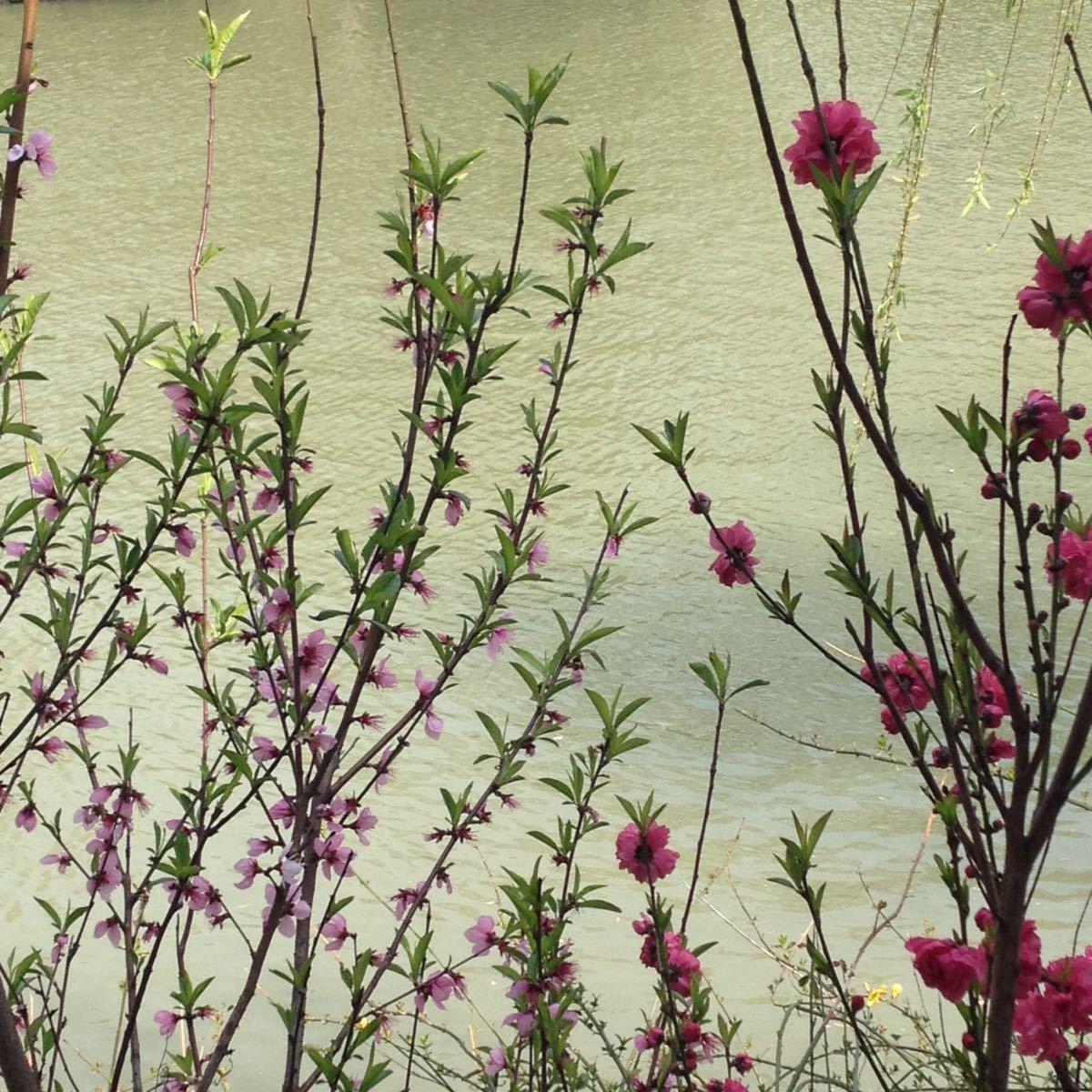 此时此刻的瘦西湖景色迷人,各种花卉开放,比如碧桃,郁金香等等,翠柳也