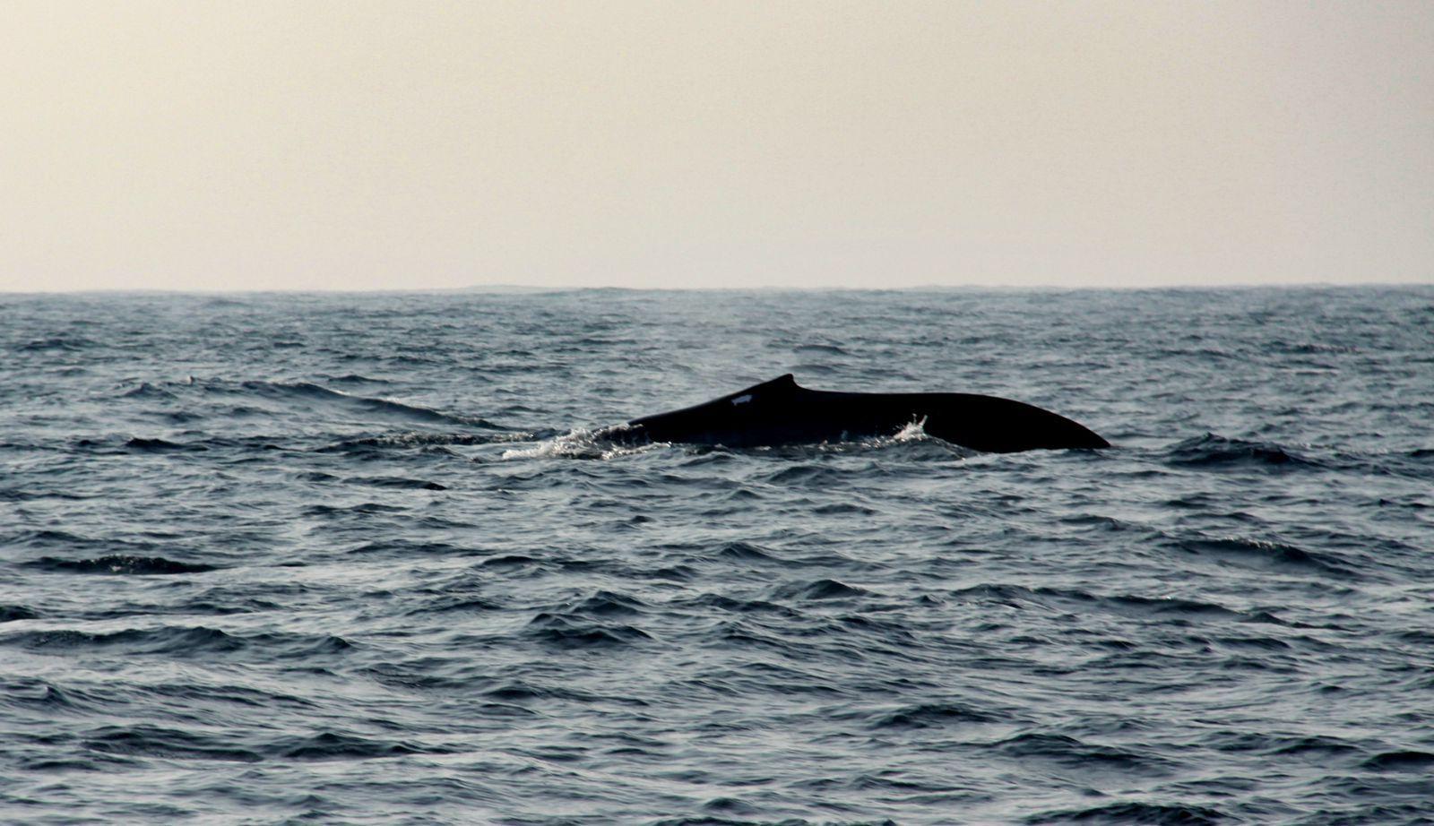 半个鲸鱼简笔画