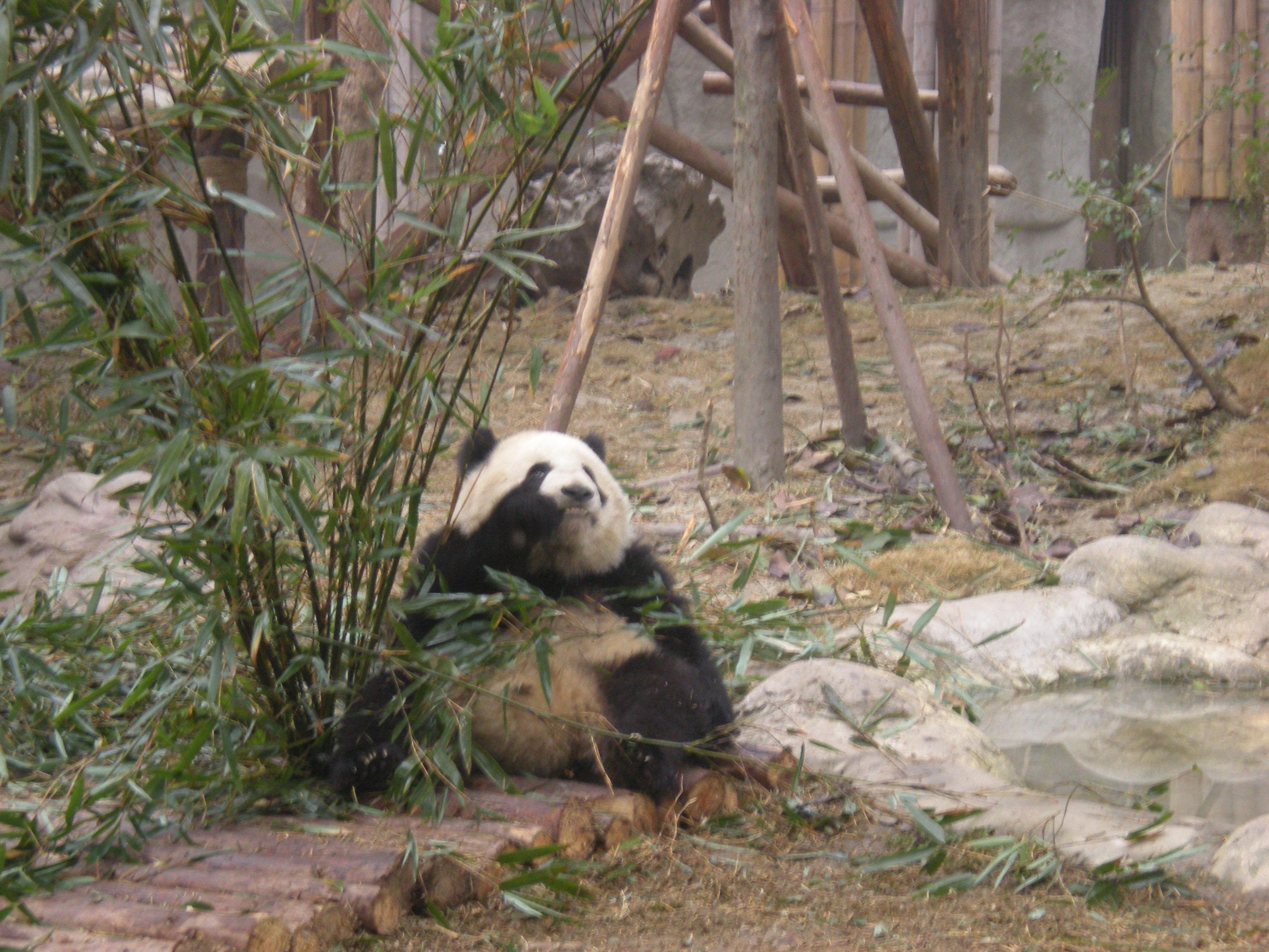 熊猫吃竹子的姿势可多了,坐着的有