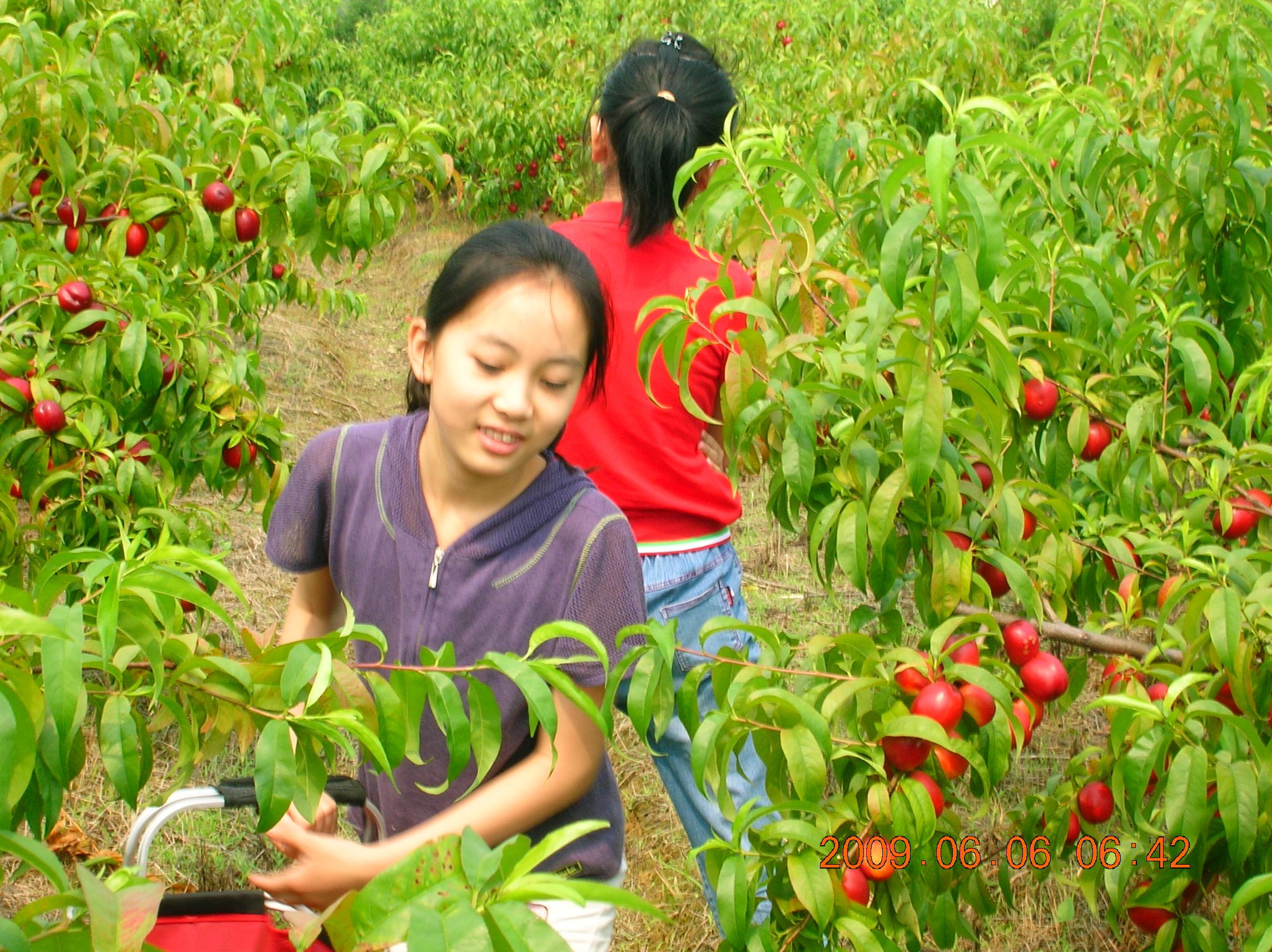 200906肥东桃园摘桃子