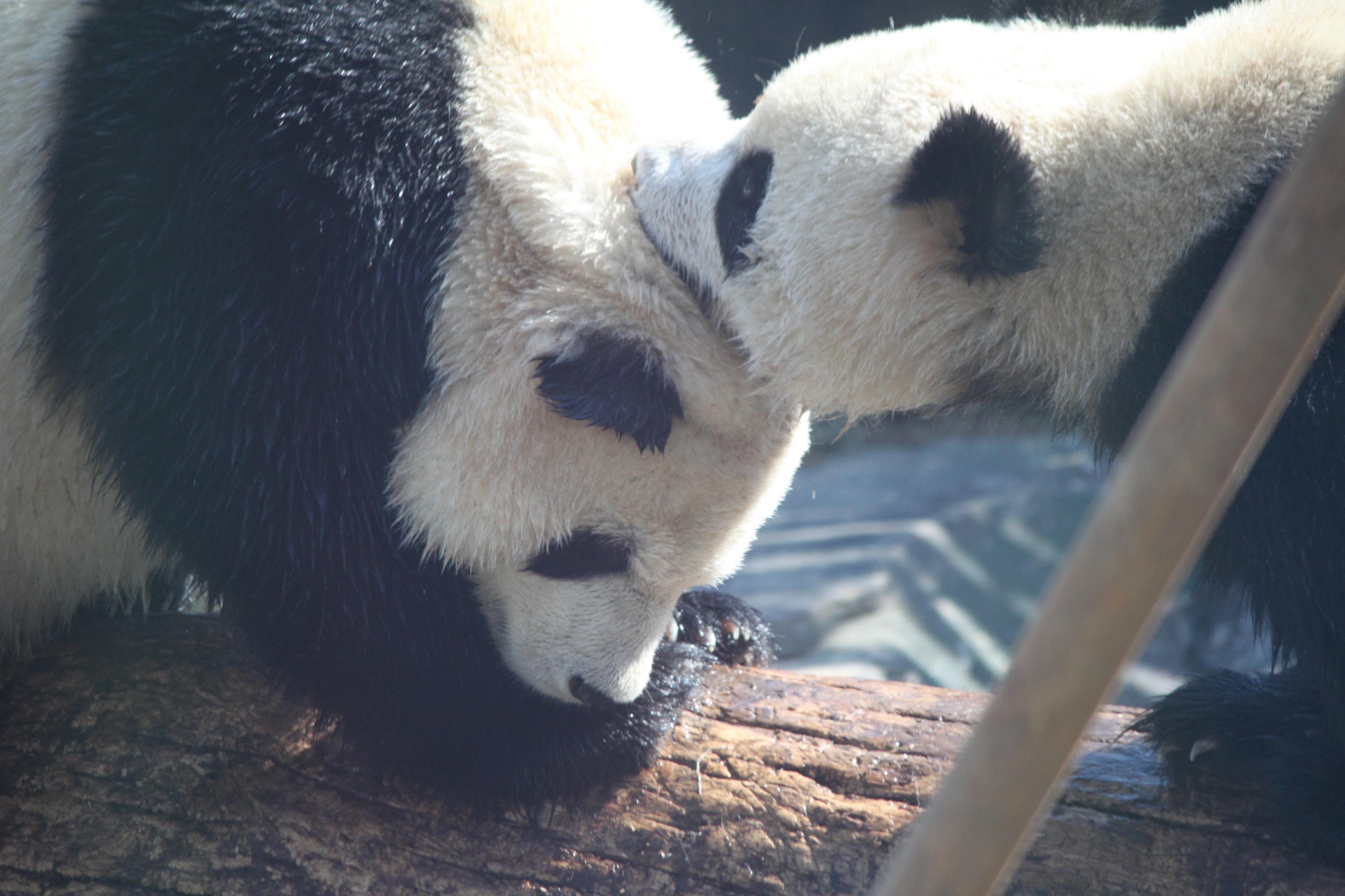 说是游记真够tricky的,其实就是和喜欢熊猫这个可爱生物的人分享一下。不是拍于一天,人家贵为国宝也不是每天心情都一样,外在举动更不可能了。这么可爱的动物自不必多言,可能有人不喜欢么???!去年有部巨萌的连载动漫白熊咖啡厅,瞅瞅人家东瀛不产熊猫也升华得这么让热爱鸟~看一眼熊猫真的任何不悦都有多远滚多远了。要不成都干嘛整个在线24小时大熊猫视频网站涅~大连森林动物园熊猫馆建于去年,三只大熊猫金虎,男,最活泼好动,我主要拍得就是他,4岁;妙音,唯一女性,2岁可能;飞云,腼腆小伙,跟妙音一般儿大。第一组金