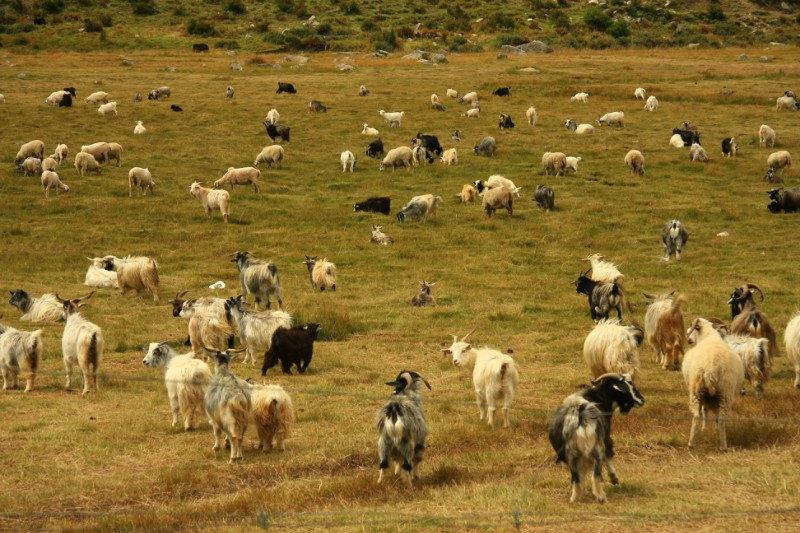 藏族的动物图片