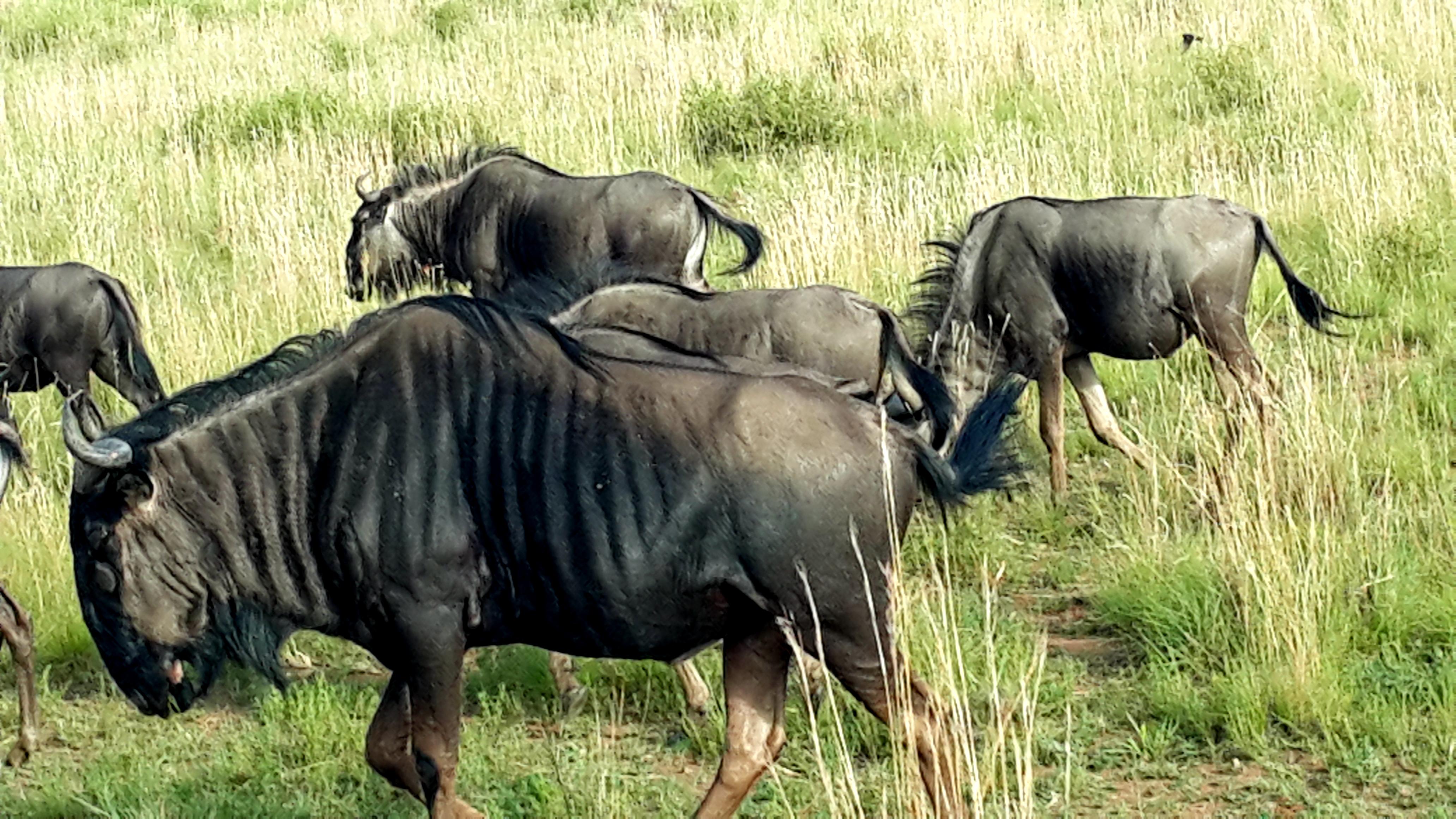 南非野生动物园角马