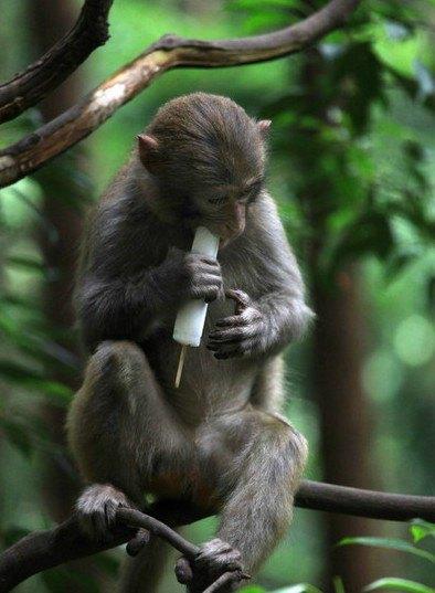 中国猴子种类_这里的猴子每天都会吃到很多很多种类的东西,它们是野生猕猴,有食物吃