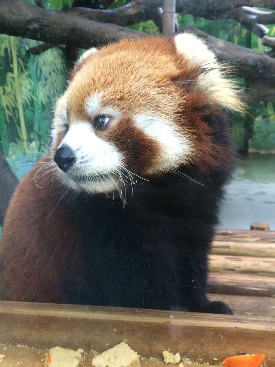 2014年10月5日我和表弟少凡去广州长隆野生动物园玩耍,坐3号地铁直达汉溪长隆站下,然后坐园区的免费巴士到野生动物园区,从南门取票,我是在携程旅行网订的票,所以方便,然后排队坐车到北门,接着就开始坐小火车看半散养的野生动物,再后来就是徒步观光及看表演的,超赞的。