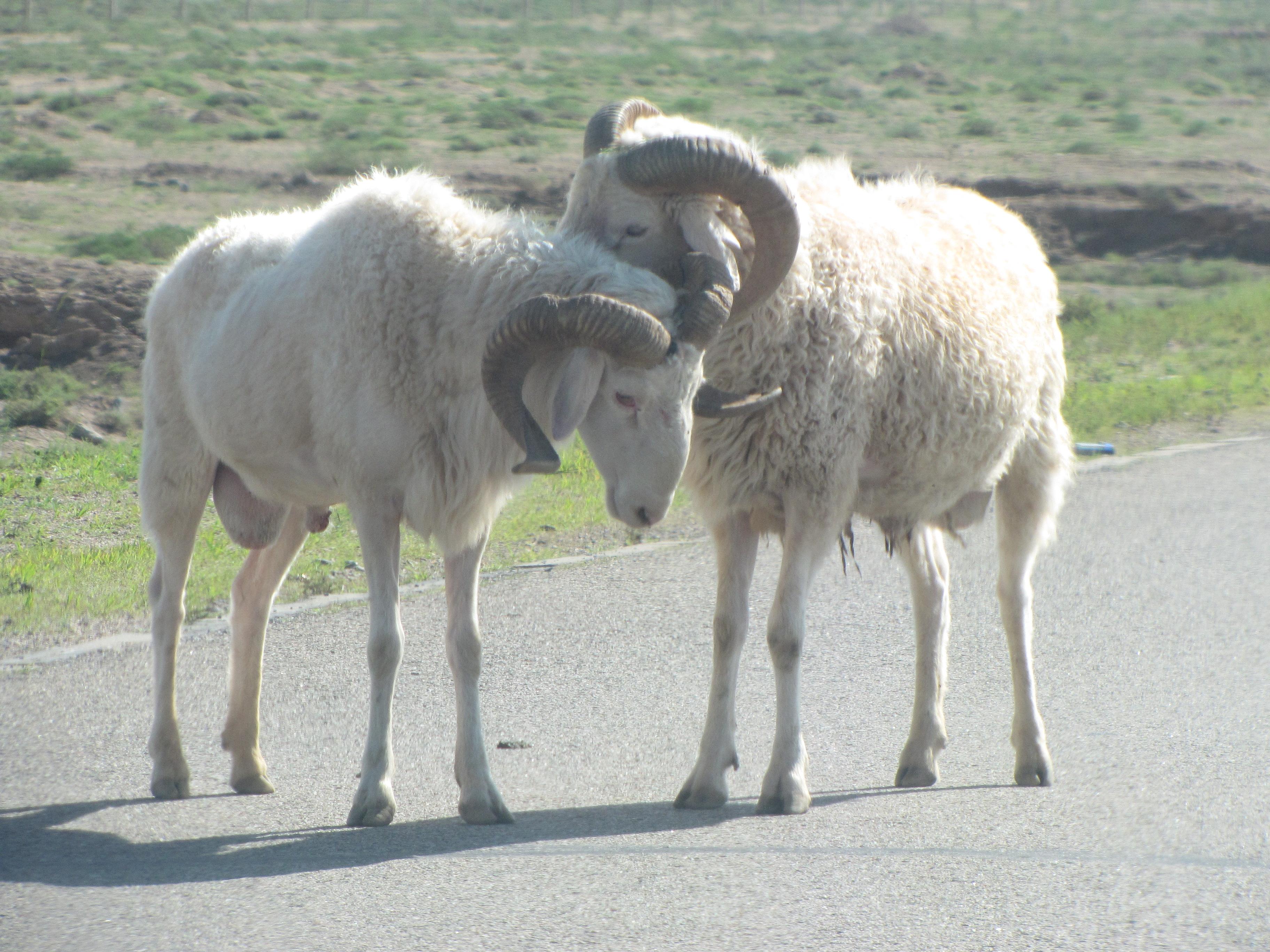 内蒙古戈壁滩上有那些放牧动物? 关裕年 在一望无际的戈壁滩上,有的时候,你的车走了几百公里也不一定能够见到多少动物,而有的时候,近在眼前的动物从你的车前面穿过,甚至于挡住你的车,慢慢悠悠,甚至在马路上,当着你的面,缠缠绵绵,在那里调情呢 骆驼应该是最常见的动物,因为它们体格健壮,又是群生,所以,不惧怕狼群,走的最远最慢,特别是有沙葱的地方,骆驼就最多。 牛是比较少的,但是也可以看得到,不成群,一般几头牛,在那里吃草。马群也不是太多,不像呼伦贝尔,那里的马群特别多,估计是那里的草马群最爱光顾,所以,马群在