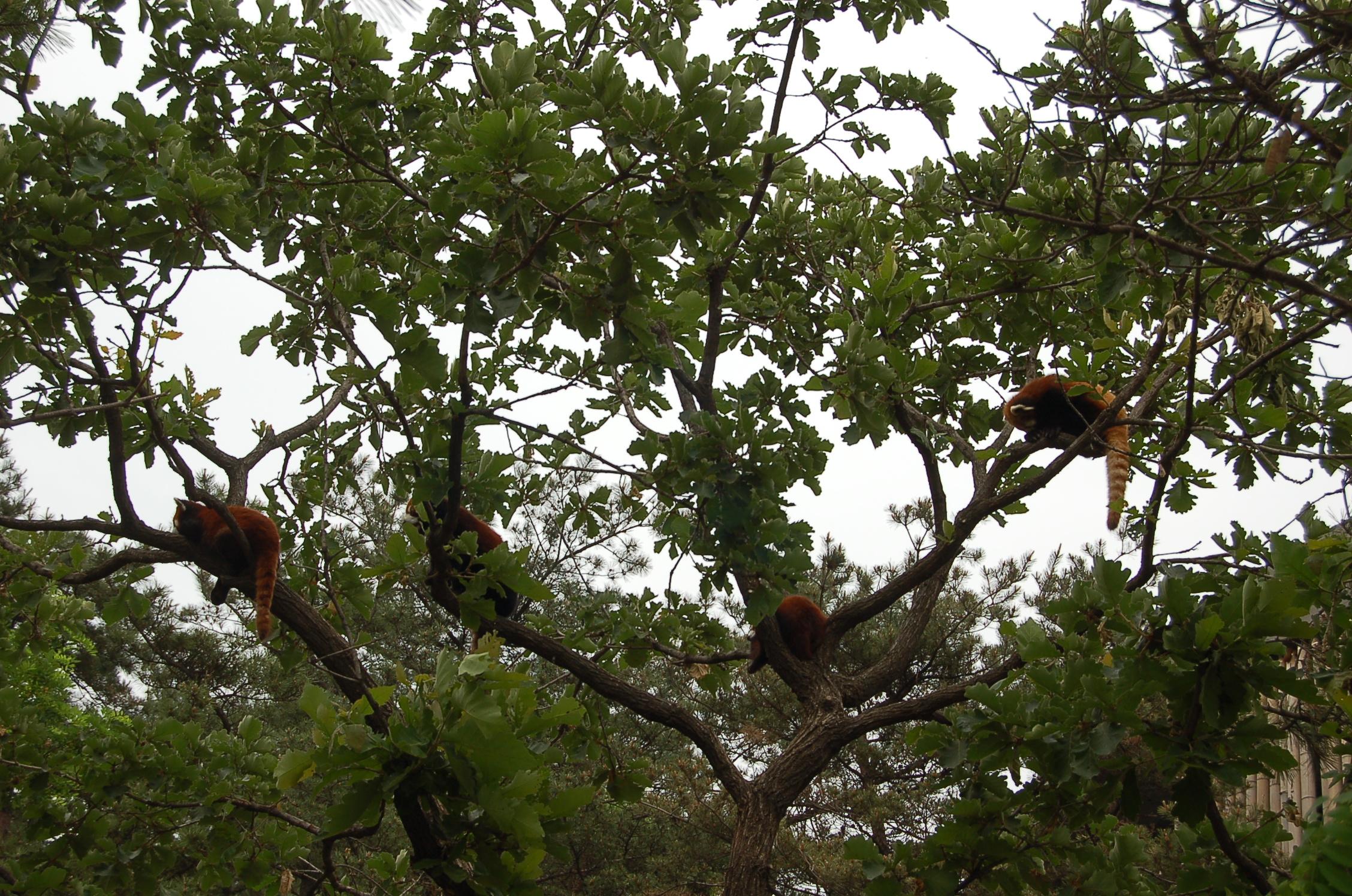 大连市森林动物园里小熊猫