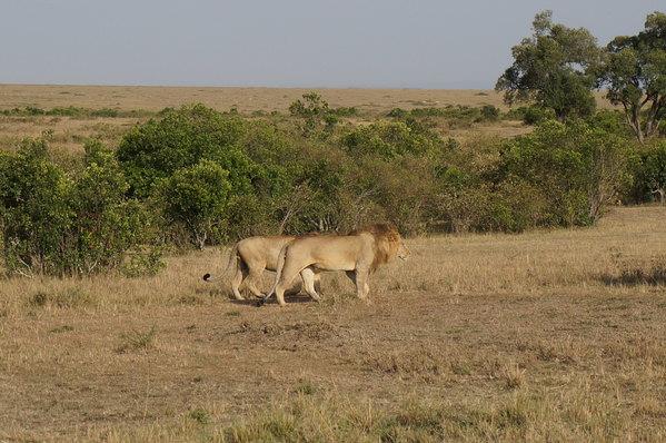 四角狗 布贴画-蹲那眼巴巴的水牛走远..科普一下,非洲五霸,分别是狮子,花豹,