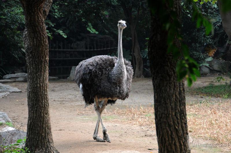 当时正值广州申办2010年亚运会成功,广州动物园从全国各地8000多个征名中选取了广州市民吴梦华所取的盈娅一名,寓意广州申亚成功,迎接亚运会。盈娅出生后一直是广州动物园最受欢迎的明星动物之一,参与了许多科普教育活动,深受游客们的欢迎 三、小结 广州动物园于1958年建成开放,占地面积42公顷,是我国三大城市动物园之一,共有选自全国和世界各地的哺乳类、爬虫类、鸟类和鱼类等动物 450余种,4500多头(只),其中不少属于世界珍禽异兽。属于国家一类重点保护动物有大熊猫、金丝猴、黑颈鹤等35种,属于国家二类