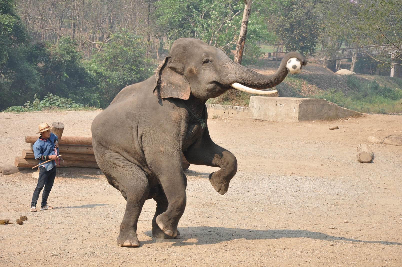 馬沙大象營是清邁最大的大象訓練學校,位于清邁以北約14公里處,共飼養了一百多頭大象。大象營附近有一條河流,四周都是原始森林。 可以騎大象(從愛護動物的角度上不提倡)以及看大象表演。在網上查了一下,網友說包雙條車來回400B左右。我就按照這個價格去談。司機開價500B單程,果斷砍到400B來回,最後司機同意了,返回的時候一起付款。路程約30-40分鐘,非常遠,上山的路彎彎曲曲,往來的車又多,大家還是不要自己騎車,不太安全。大象表演每天2次,早上9:30 和 下午1點多,如需觀看早上的表演,最好在9點到達。可