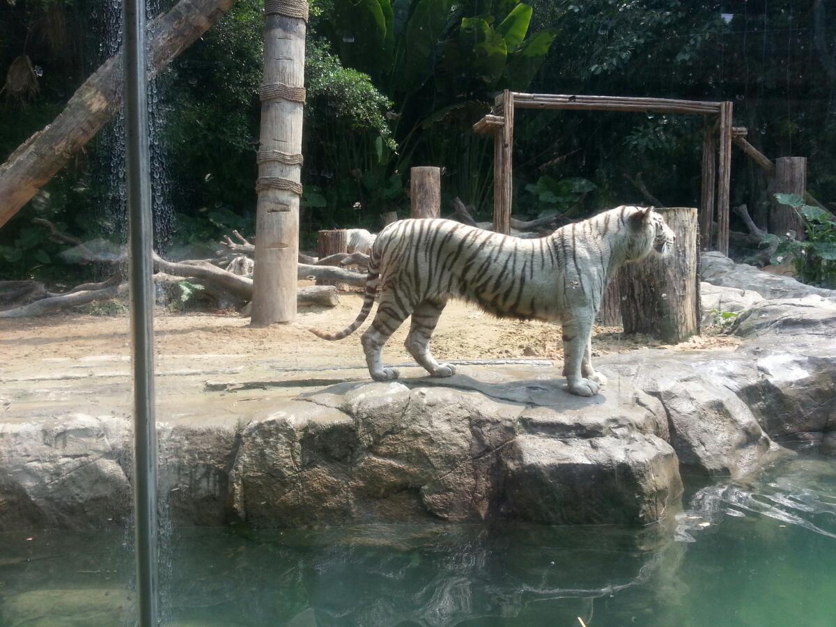 长隆动物园的明星,白虎