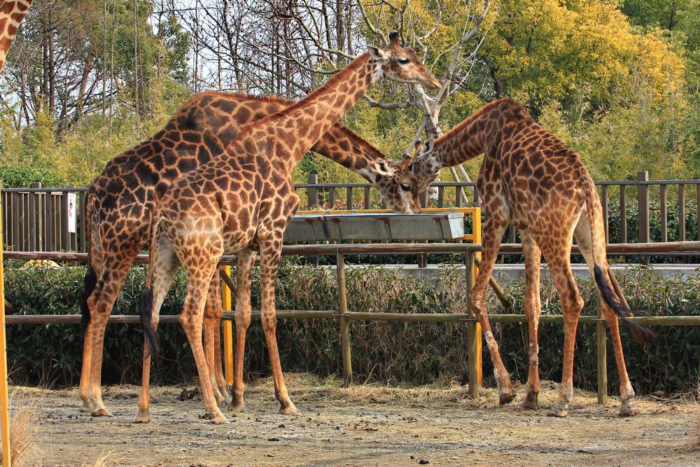 位于上海浦东新区南六公路178号的上海野生动物园,是我国最大的国家级野生动物园,同时也是国家AAAAA级风景区,园内汇集了世界各地具有代表性的动物和珍稀动物二百余种,数量上万,其中更包括有来自国外的长颈鹿、斑马、羚羊、白犀牛等,以及中国一级保护动物大熊猫、金丝猴、金毛羚牛等。园内观赏有步行和乘车两大不同的观赏区,步行可以看到白狮、白虎、白袋鼠、大熊猫、扬子鳄等世界珍稀动物;以及驼羊、骆驼、斑马、象等比较温顺的动物,在车行区可以看到长颈鹿、大象、非洲狮、猎豹等威猛的动物。另外整个园区还分为食草动物放养区、食