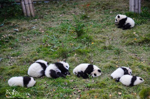 这些是刚出生不久的小熊猫在晒太阳