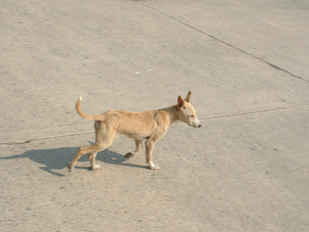 印度街头的牛群和狗