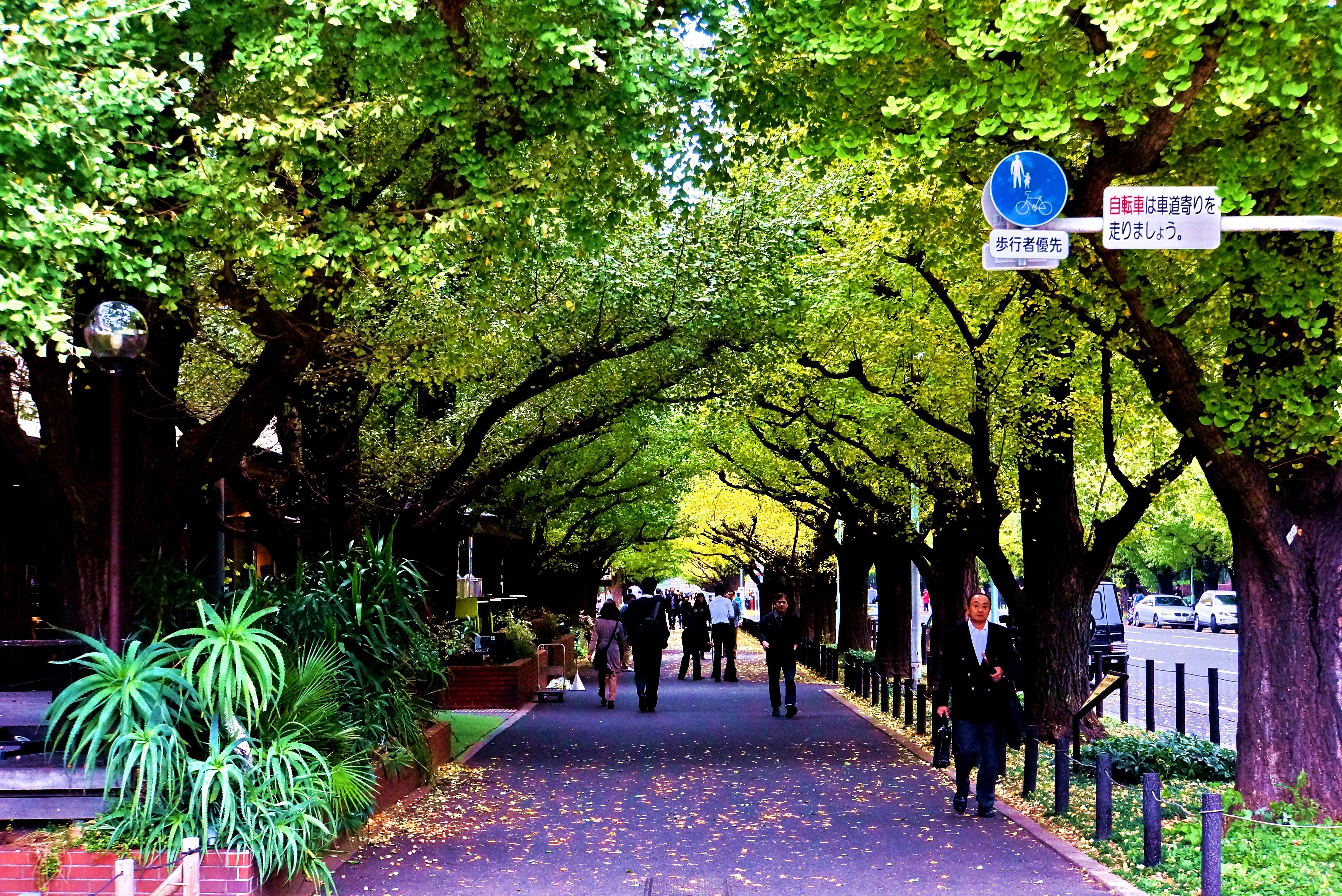 由于道路两边的人行道两侧都种有银杏树